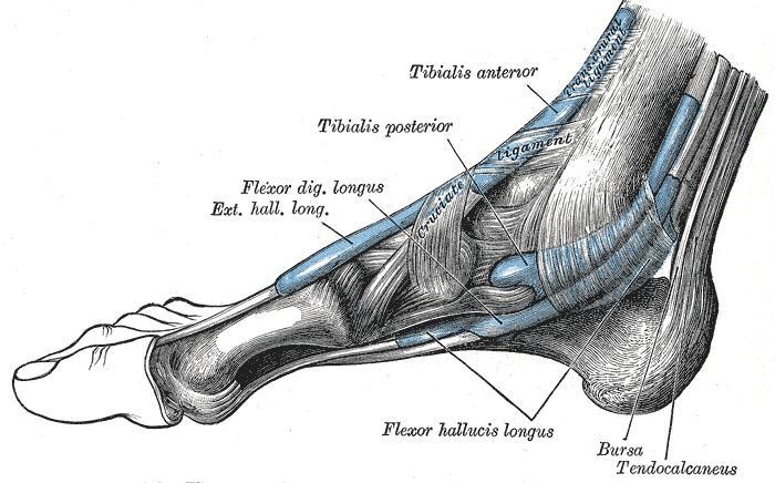 flexor hallucis longus