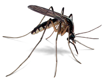 mosquito and hepatitis